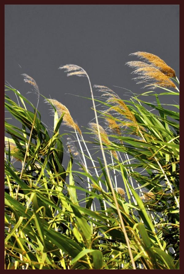 Canne al vento in Sardegna