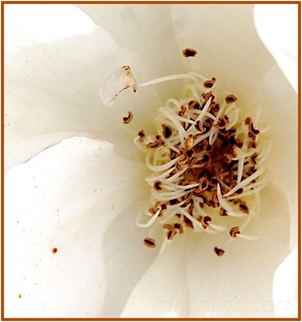 ...coeur de rose blanche ...