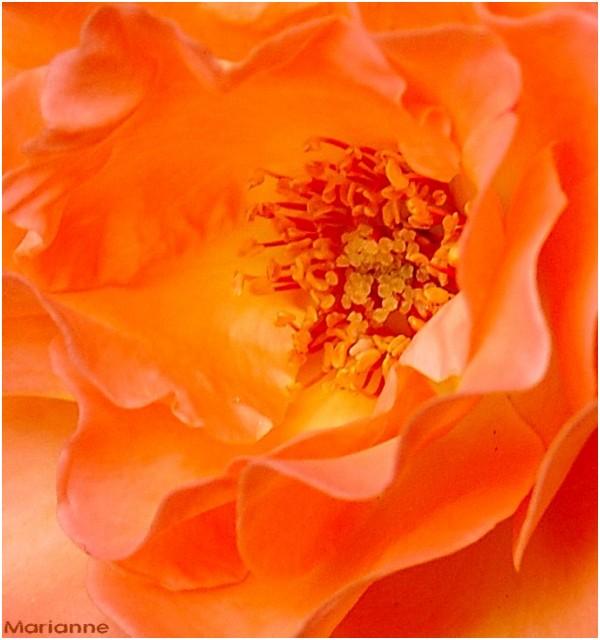 coeur de rose orangée ...