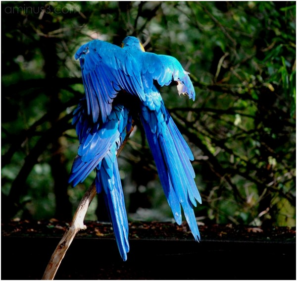 les ailes de l'amour ... love in blue...