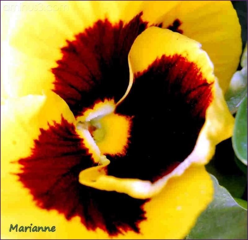 pensée yellow