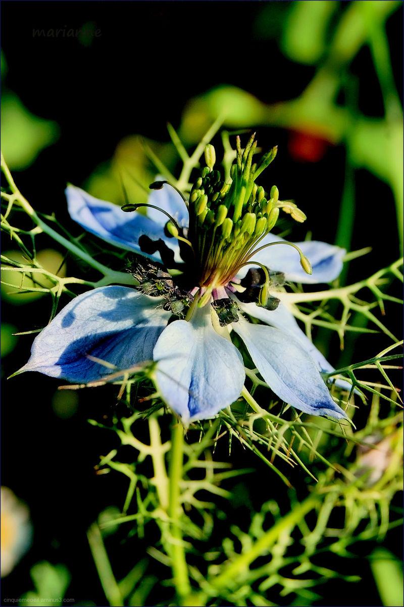 .......... fleur bleue.........