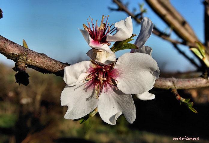 pureté de ma fleur d'amandier ...
