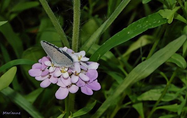 un papillon sur une étoile ...