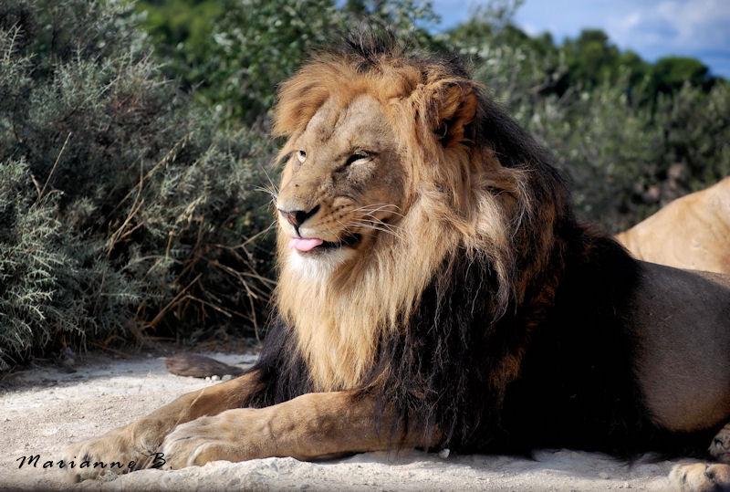 Lion's club ...