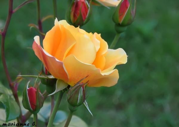 Pour les mamans d'AMInus .. une simple rose jaune