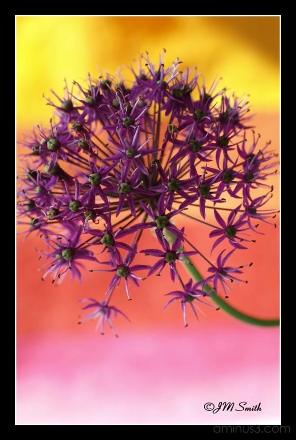 Vibrant Allium