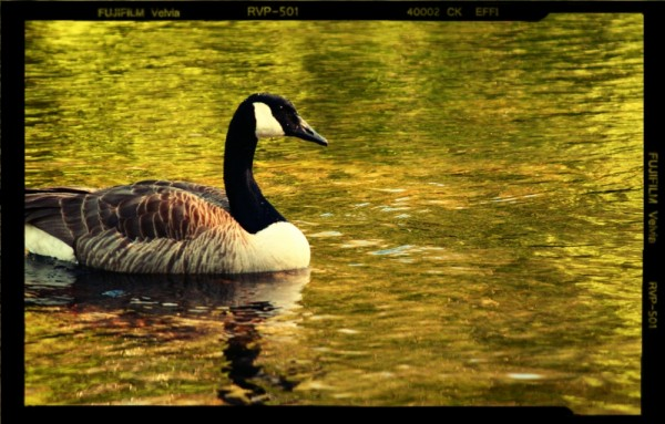 goose lake water serene