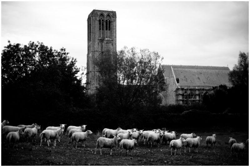 sheep damme
