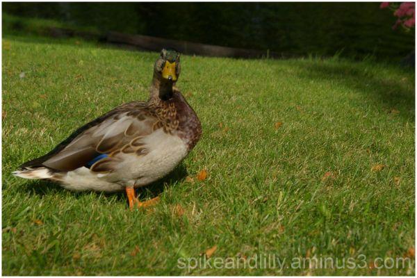 Duck... Duck...