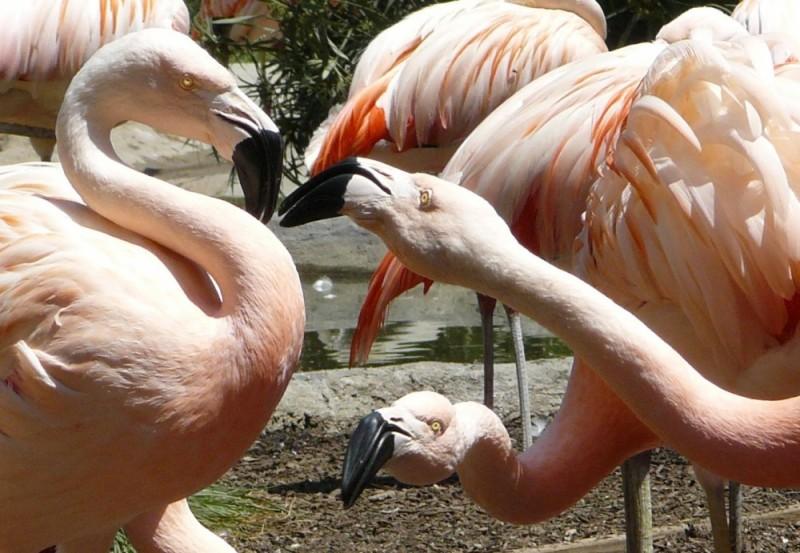 The Santa Barbara Zoo flamingoes in a dispute.