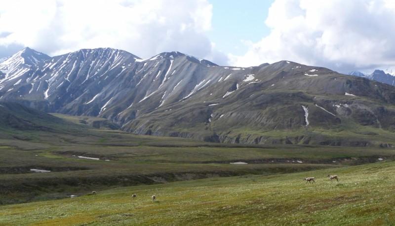 Panorama of Caribou in Denali National Park Alaska