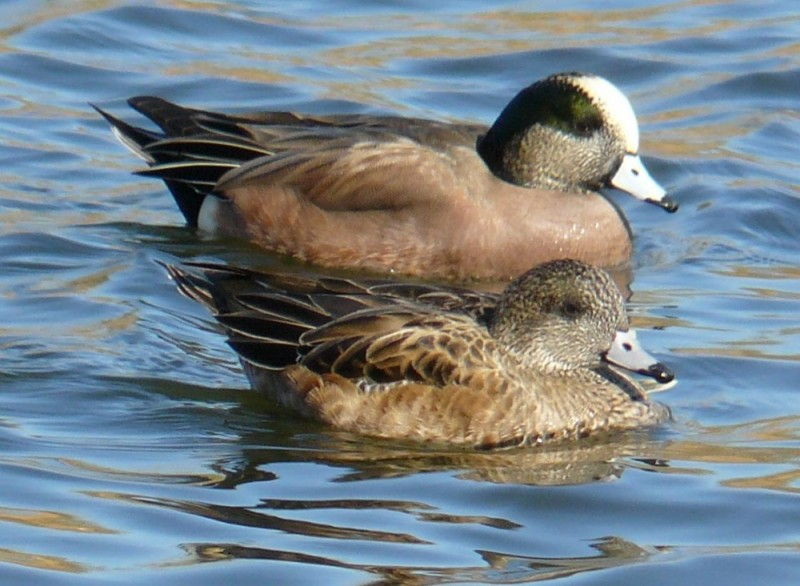 Waterfowl pair Wildlife Refuge Woodley Park USA