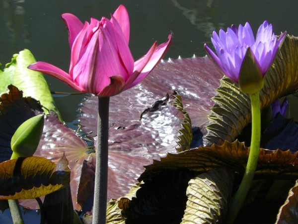 Pink and Purple Water Lilies - LA Japanese Gardens
