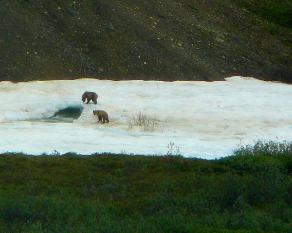 Grizzly cubs wrestle ice hole river Denali Alaska