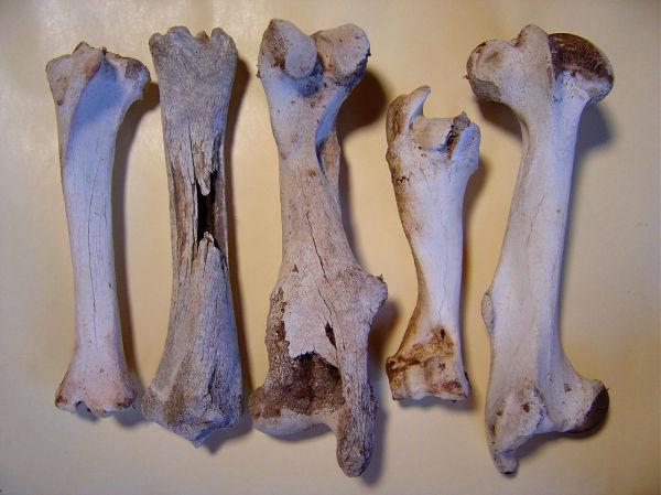 five legbones