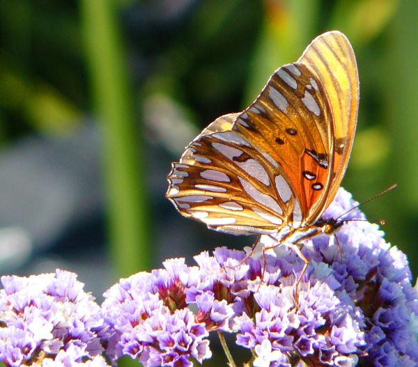 Monarch Butterfly lites on Purple Status Flowers