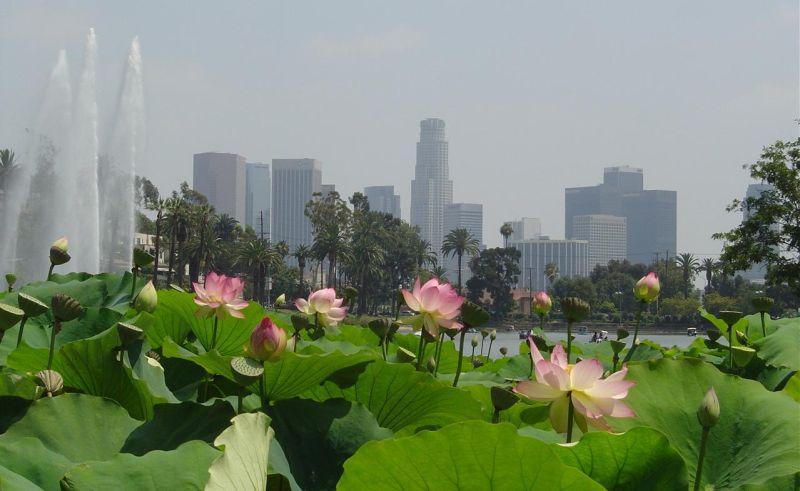 Blooming Lotus Echo Park Lake Downtown Los Angeles