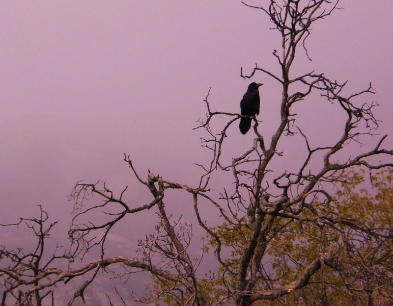 Raven on a branch in Sequoia at Hospital Rock