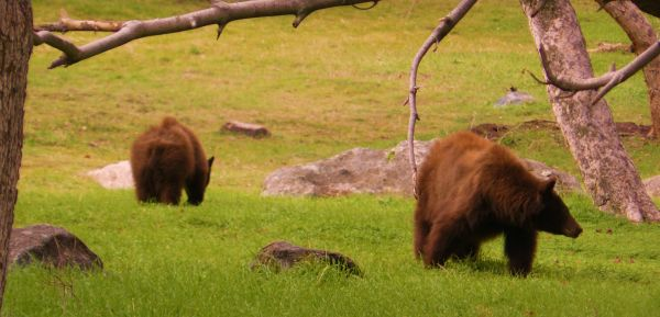 two brown bears on the grass in sequoia