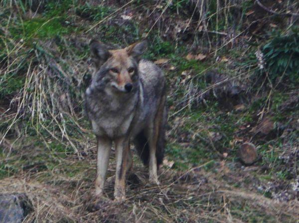 Patient Coyote in Sequoia