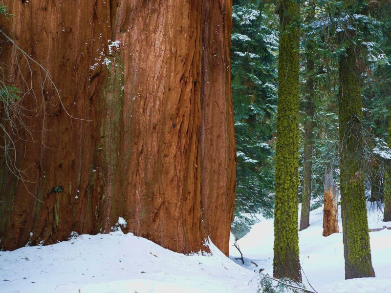 General Sherman Sequoia in Giant Forest California