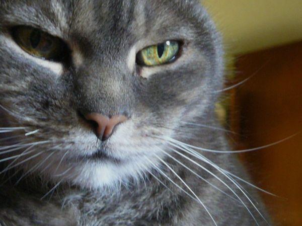 grey cat sitting on my chest