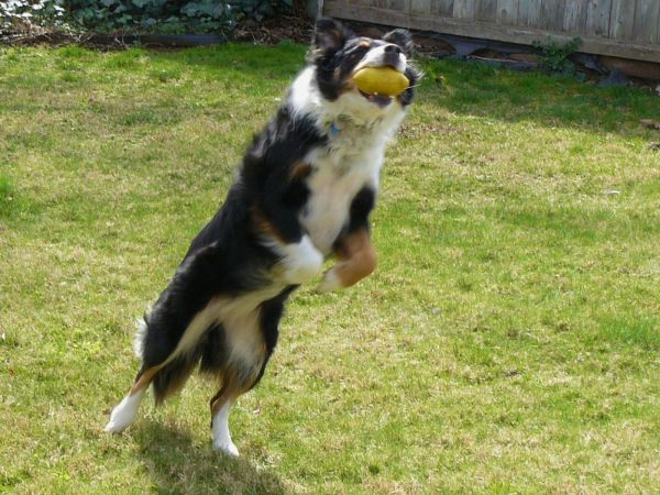 Taffy dog catches the ball