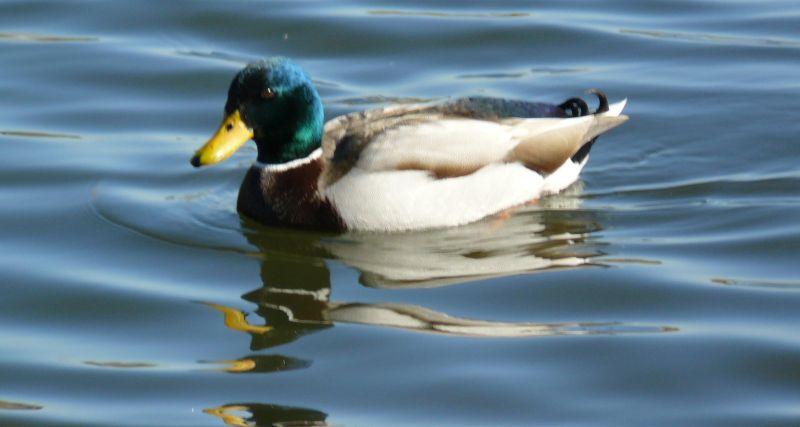 Mallard duck in San Fernando Valley's Woodley Park