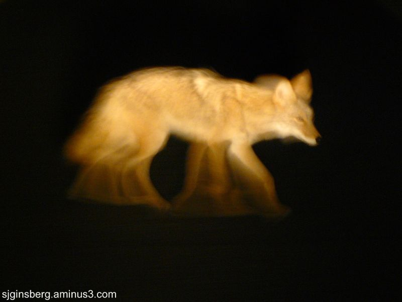 Coyote in Death Valley at night