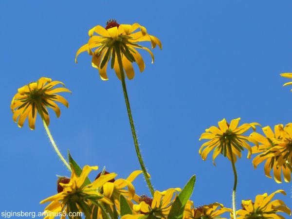 Underside of daisies at Jefferson's Monticello