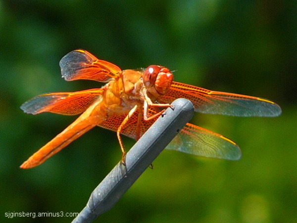 orange dragonfly on antennae