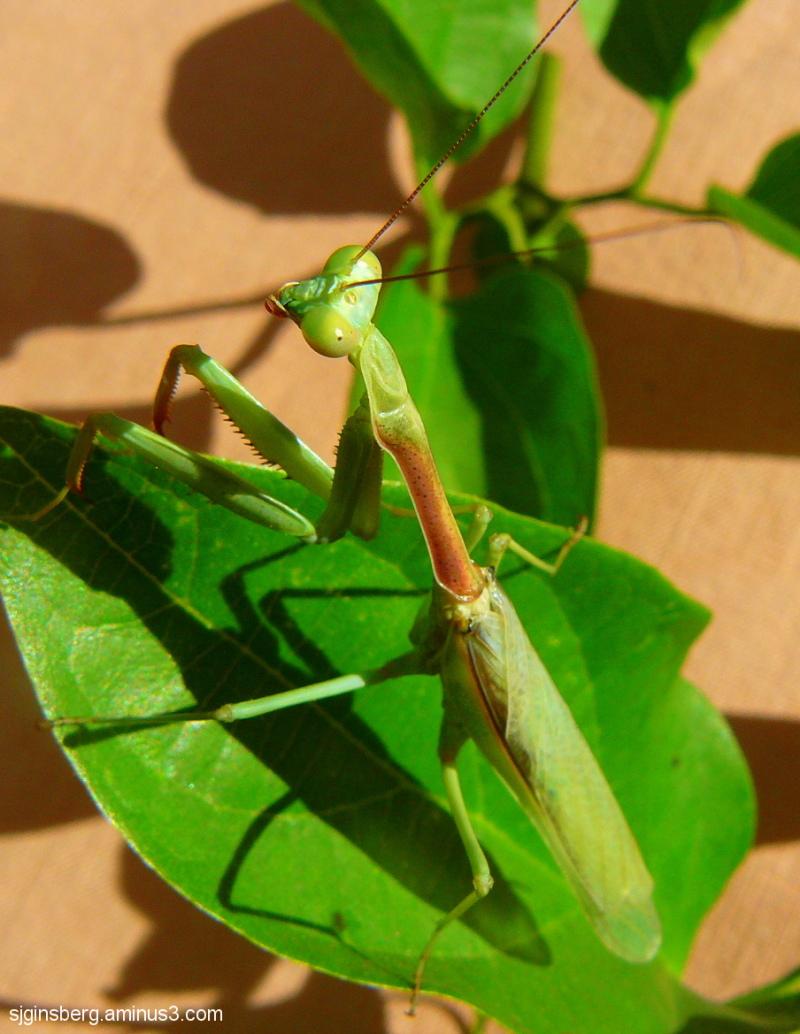 Green praying mantis on branch side-view
