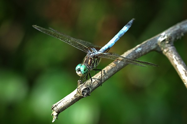 68 -  Dragonfly