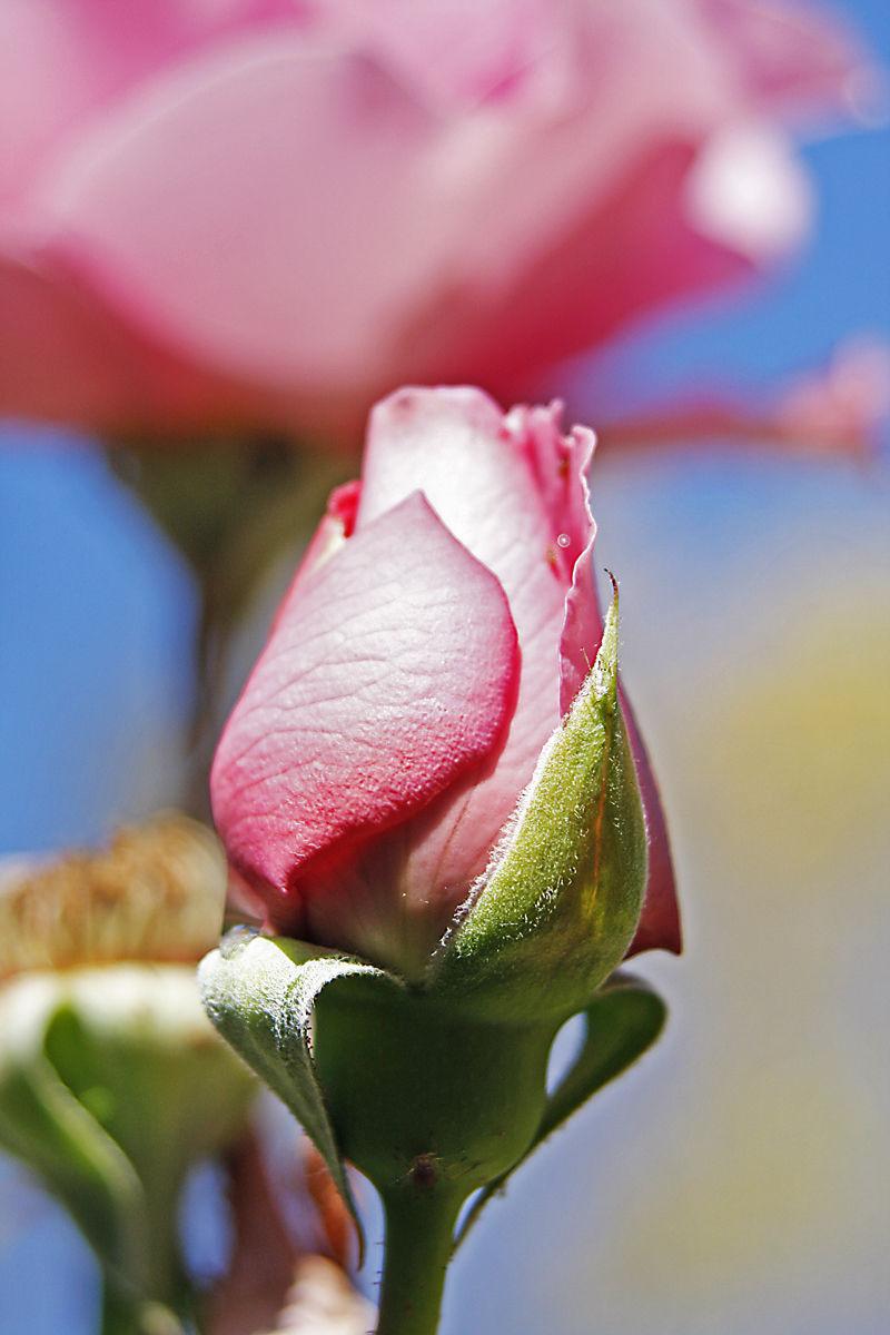 95 - Rose in fall