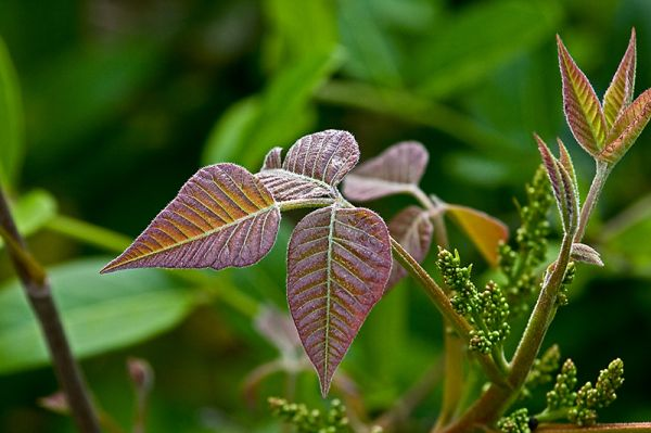 151 - Poison Ivy