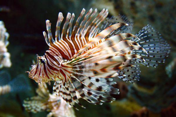 165 - Lion Fish