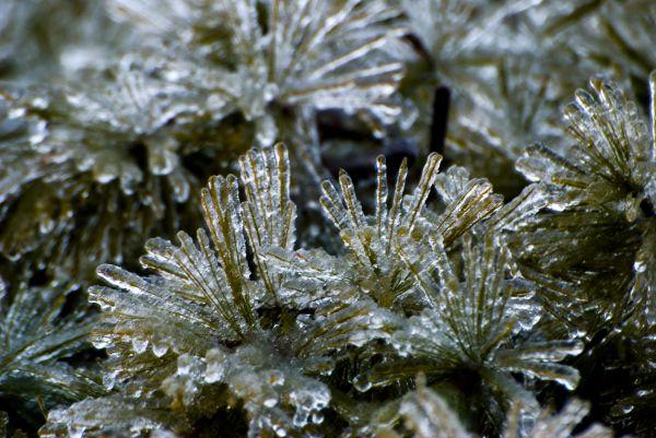 Pine Ice