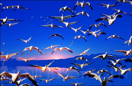 snow geese flying over a pond at Bosque del Apache