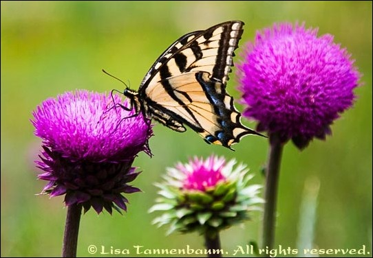 butterfly swallowtail sipping from a thistle