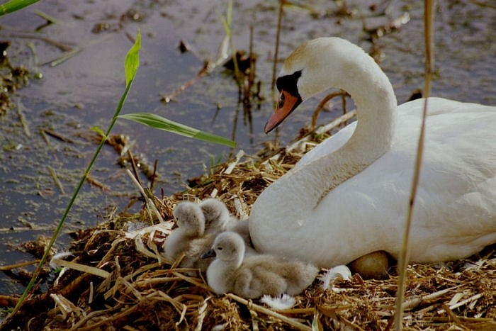 Svan mother with cubs