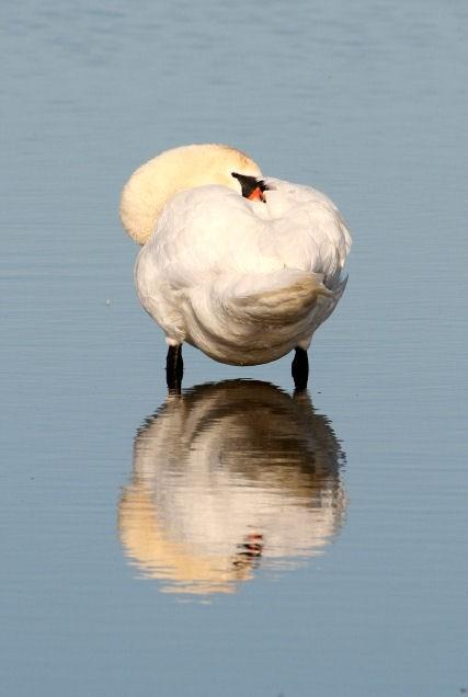 Sleeping swan