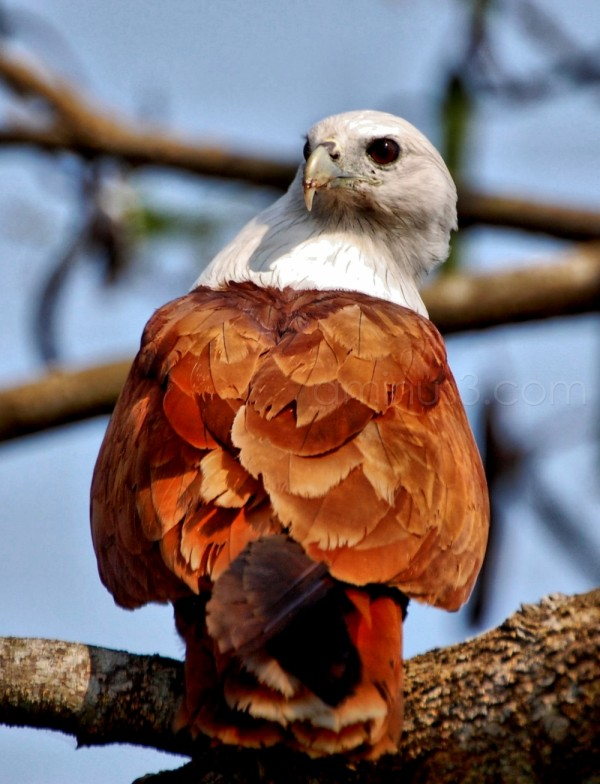 A brahminy Kite on a tree with its prey