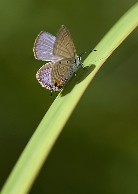 vlinder butterfly hairstreak page