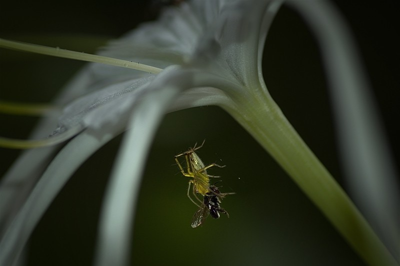 spider lynxspider macro photo Thailand picture