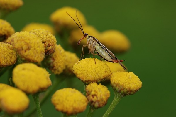 insect schorpioenvlieg panorpidae scorpionfly