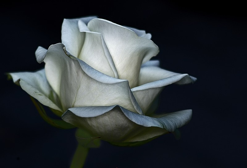 rose roos nature bloem flower white wit macro