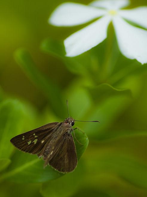 Paintbrush Swift Baoris farri hesperiidae vlinder