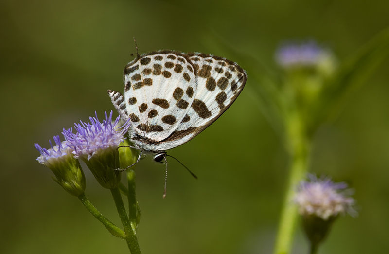 macro vlinder butterfly common pierrot castalius