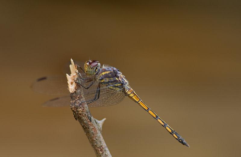 macro insect libel dragonfly potomarcha congener